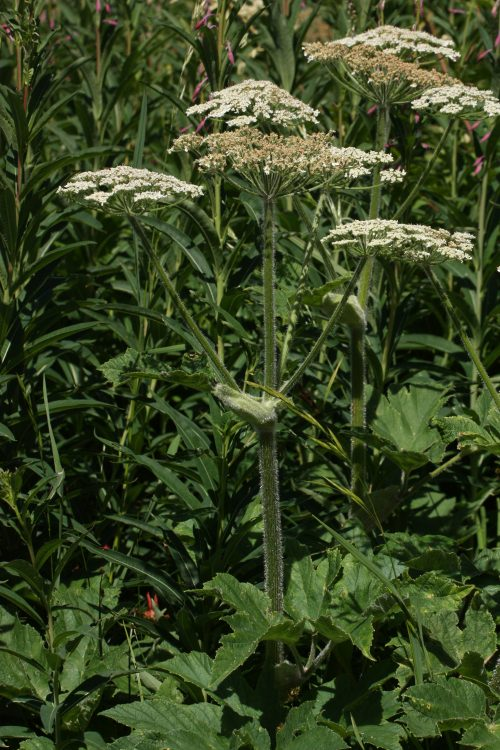 Cow parsnip (Heracleum maximum). Source: Wikimedia commons
