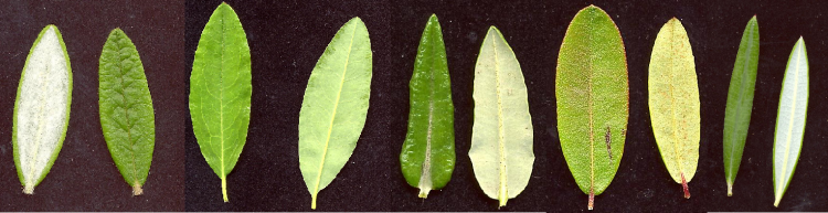 Figure 4 : Multiple Ericaceae leaves (source, used with author permission)